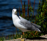 The Seagull-Lakeside #3 by tigger3, photography->birds gallery