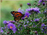 Monarch on Asters by wheedance, Photography->Butterflies gallery