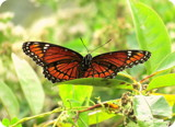 Viceroy by GomekFlorida, photography->butterflies gallery