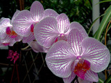 The Rhythm of Orchids! by marilynjane, Photography->Flowers gallery