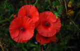 Red by braces, photography->flowers gallery