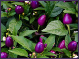 Peter Picked Purple Peppers by trixxie17, photography->gardens gallery