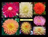 Dazzling Dahlias by trixxie17, Photography->Flowers gallery