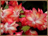 Christmas Cactus by trixxie17, holidays->christmas gallery