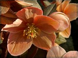 Hellebore by trixxie17, photography->flowers gallery