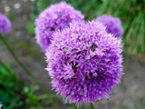 Allium by braces, Photography->Flowers gallery