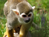 Squirrel Monkey 3 by gbo911, Photography->Animals gallery