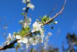 Plum Blosssom by slushie, photography->flowers gallery