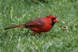 Cardinal by jeenie11, photography->birds gallery