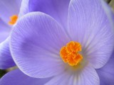 crocuses by sappigappeltje, Photography->Flowers gallery