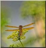 The Eastern Amberwing Dragonfly #2 by tigger3, photography->insects/spiders gallery