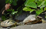Turtle Parking Lot by trixxie17, photography->reptiles/amphibians gallery