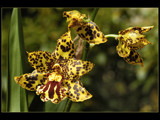 Tiger-orchid by ppigeon, Photography->Flowers gallery