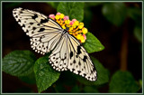 Butterfly 03 of 12 by corngrowth, Photography->Butterflies gallery