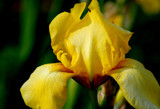 yellow iris by solita17, Photography->Flowers gallery