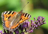 The Red Admiral Wannabe! by edmunds, Photography->Butterflies gallery