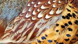 Pheasant wing by BarnArt, photography->birds gallery