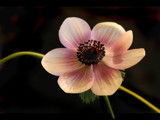 same anemone, different pose! :-) by JQ, Photography->Flowers gallery