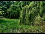 Willows Weeping by LynEve, Photography->Landscape gallery