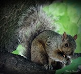 Squirrel by picardroe, photography->animals gallery