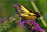 Papilio glaucus by tigger3, photography->butterflies gallery