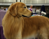Dog Show Contender #2 by tigger3, photography->pets gallery