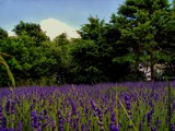 lavender field... by gaeljet2, Photography->Landscape gallery