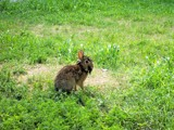 Dreadlocks in Your Hare? by kidder, Photography->Animals gallery