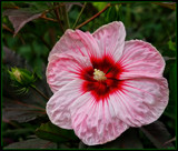 The Hibiscus In Bloom by tigger3, photography->flowers gallery