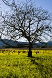 Napa Valley Oak by whttiger25, Photography->Landscape gallery