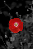 We Will Remember Them by braces, photography->flowers gallery