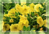Calibrachoa (Superbells Yellow) by trixxie17, photography->flowers gallery