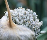 Pop Goes The Garlic! by LynEve, photography->nature gallery