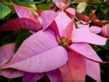 New Poinsettia Color by trixxie17, holidays->christmas gallery