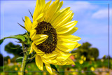Foofy Friday Sunflower by corngrowth, photography->flowers gallery