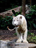 White Tiger by Malificent, Photography->Animals gallery