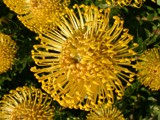Pincushion Proteas by hermanlam, Photography->Flowers gallery