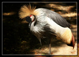 Grey Crowned Crane 2 - Do Not Disturb by Jimbobedsel, Photography->Birds gallery