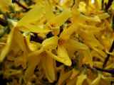 Forsythia  -  Up Close and Personal by braces, Photography->Flowers gallery
