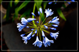 Agapanthus by corngrowth, photography->flowers gallery