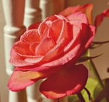 A rose is still a rose by roxanapaduraru, photography->flowers gallery