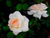Image: Garden Rose