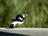 Magpie Lark by Samatar, photography->birds gallery