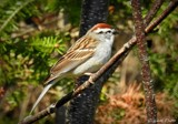 Chipping sparrow by GIGIBL, photography->birds gallery