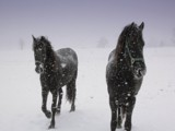 Horses in Snowfall by pauljsee, Photography->Animals gallery