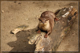 Otter On A Log by Jimbobedsel, photography->animals gallery