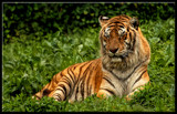 Restful Tiger #2 by tigger3, photography->animals gallery