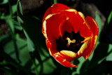 Tulip  -  The Inside Story by braces, Photography->Flowers gallery
