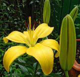 Garden Lilly by gizmo1, photography->flowers gallery