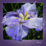Iris by cynlee, photography->flowers gallery
